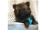 Picture of Adorable CKC registered male pomeranian puppy