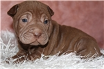 Picture of CHOCOLATE CAPPUCCINO.....TOY SIZE SHAR-PEI
