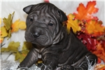 Picture of ROOK.....BLACK TOY SIZE---FULL OF WRINKLES