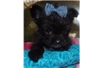 Picture of Yorkie poo