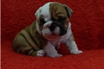 Picture of English bulldog puppies