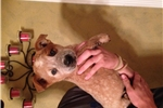 Picture of AKC Red Heeler Male puppy