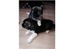 Picture of Japanese Akita Puppy -14 Weeks Old .