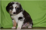 Picture of Johnny Ringo - Blue merle male aussie for sale