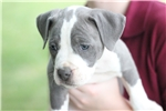 Picture of Dottie - 'PR' UKC APBT - Blue and White