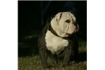 Picture of blue olde english bulldogge pup