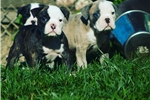 Picture of blue olde english bulldogge pups