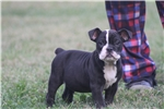 Picture of olde english bulldogge pup