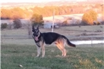 Picture of Female GSD Ruby