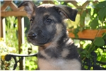Picture of German Shepherd Cinderella