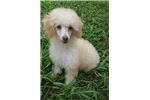 Picture of Registered Miniature Poodle Puppies
