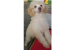 Registered Miniature Poodle Puppy | Puppy at 16 weeks of age for sale