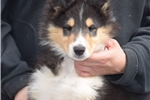 Picture of Tri- collie puppy
