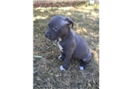 Picture of XXL Pit Bull Pup