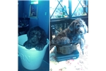 Picture of Teddy Bear Schnoodle (F1b) Female