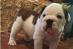 Picture of Gorgeous AKC English Bulldog Female