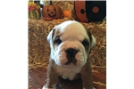 Bulldog for sale