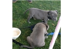 Picture of Excellent  Blue nose Pit bull puppies