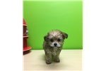 Picture of Lucy - Female Yorkie/Bichon