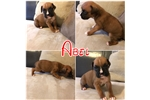 Picture of ABLE---- AKC MALE BOXER