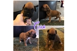 Picture of TINA-----AKC FEMALE BOXER