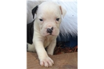 American Bulldog for sale