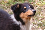 Picture of Beaumont-AKC Tricolor Long Haired Collie