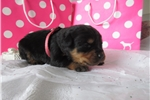 Picture of German Rottweiler Puppy