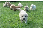 Golden Pyrenees Puppy | Puppy at 2 weeks of age for sale