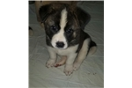 Picture of Female Akita Puppy Sophie