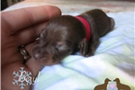 Picture of Limited Akc chocolate and tan male