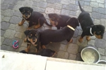 Picture of Rottweilers puppies for sale