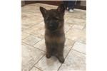 Picture of German Shepherd puppies