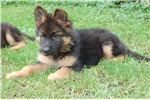 Picture of German Shepherd puppy
