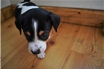 Picture of Rat Terrier puppy for sale