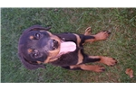 Picture of 13 week AKC registered Female rottweiler puppy