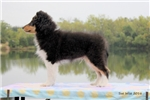 Picture of Confident, Out going, Tail-Wagger For Sale