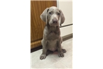 Picture of Silver Weimaraner pup