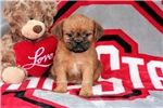 Picture of AKC Brussels Griffon Female