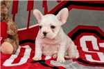 Picture of AKC French Bulldog Male pup - Cream coat
