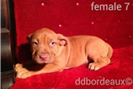 Red mask female dogue de bordeaux puppy | Puppy at 14 weeks of age for sale