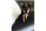 Picture of Yorkie teacup puppy for sale!