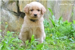 Picture of CKC Goldendoodle