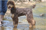 Picture of CKC Standard Poodle Phantom Chocolate/Cream Male