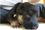 Picture of Five week old Male German Shepherd- AKC parents