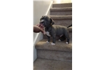 Picture of American bully pup looking for love