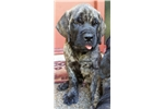 Picture of AKC English Mastiff pup. Multiple Champ. Bloodline