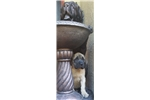 Picture of AKC English Mastiff pup Champion Bloodlines,