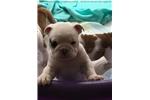 Picture of Purebred English Bulldog puppies