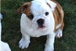 Picture of Purebred female English Bulldog puppy
